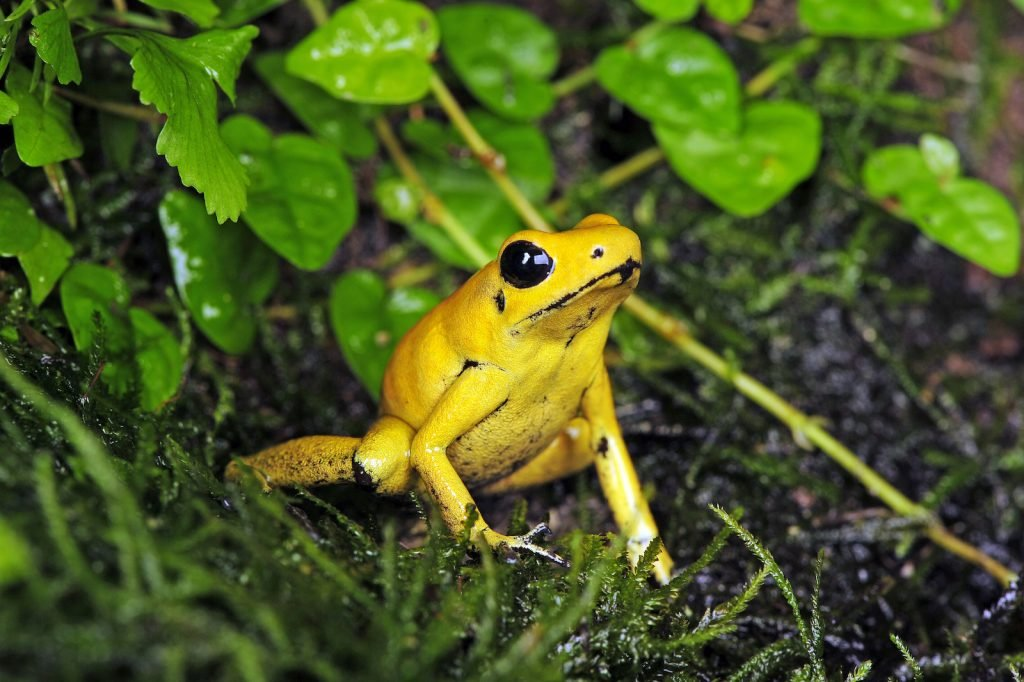 Golden poisonous frogs sitting in the green forrest floor