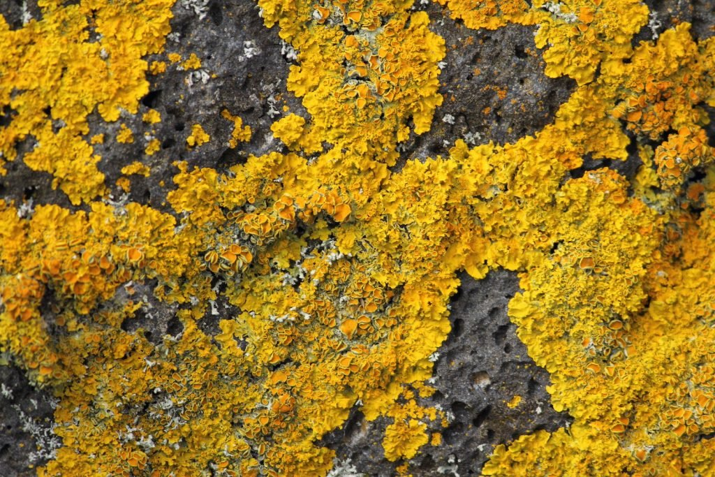 Golden shield lichen growing on a rock in different nuances of yellow and a hint of orange