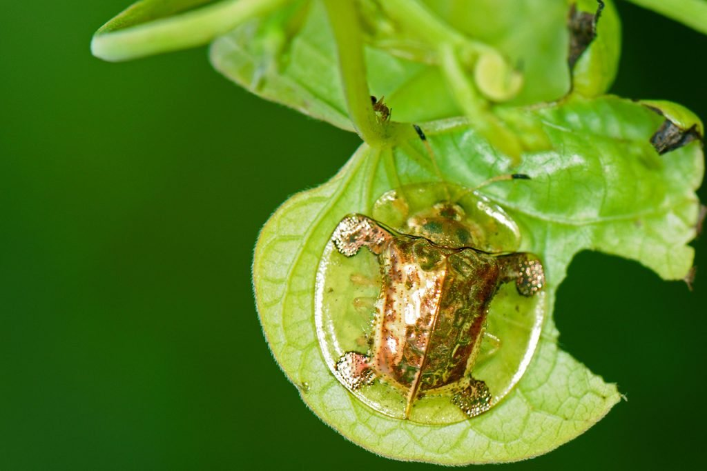 Golden tortoise beetle aka Charidotella Sexpunctata on a leaf