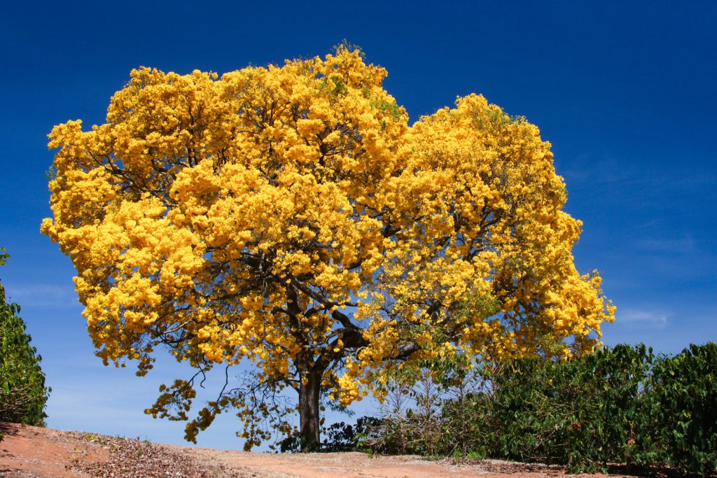 Golden trumpet trees standing on top of a hill in full bloom with bright yellow flowers and a clear blue skye as background
