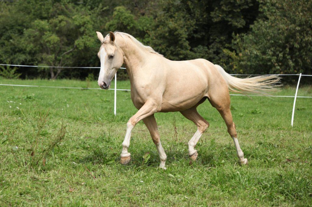 Golden yellow palomino horse running on pasturage