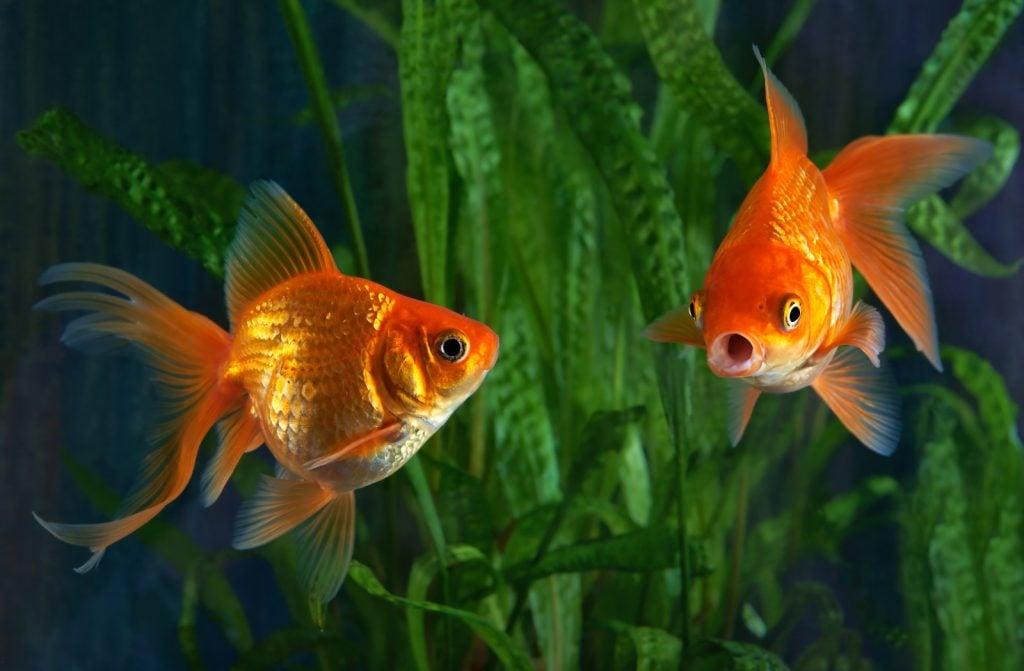 Closeup of two goldfish in a aquarium background of aquatic plants