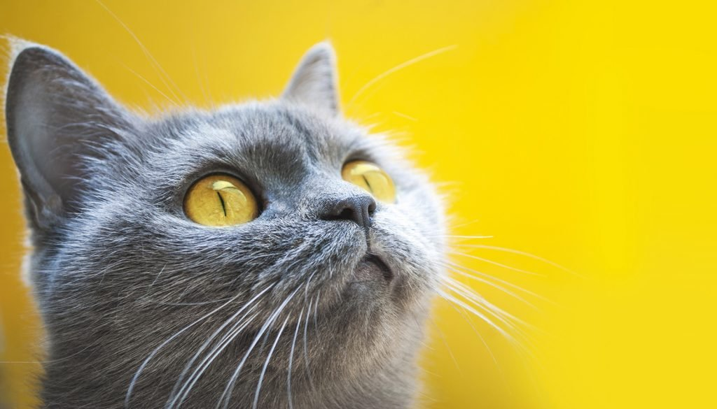 Closeup of gray cat on a yellow background with yellow eyes