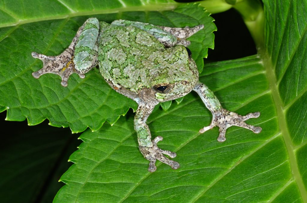 Gray Tree Frog sitting on a leaf. The frogs color is primarily green with a touch of grey