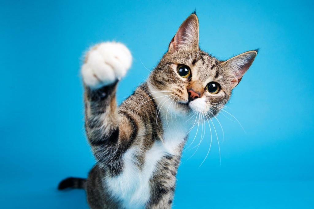Portrait of cute gray and white striped kitten sitting on a blue background and playing