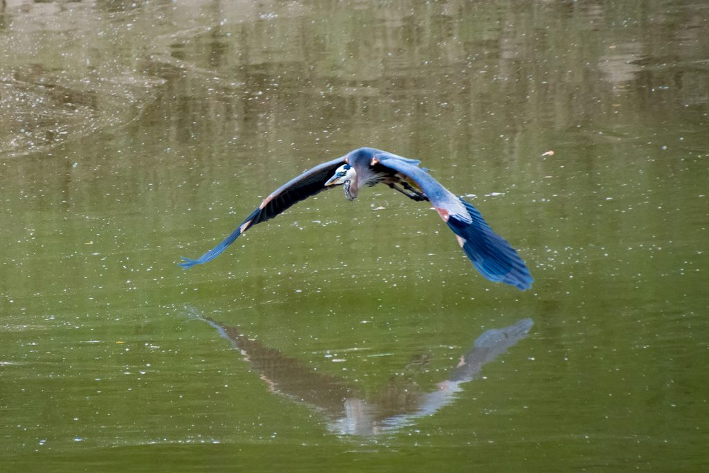 Great Blue Heron in flight over lake