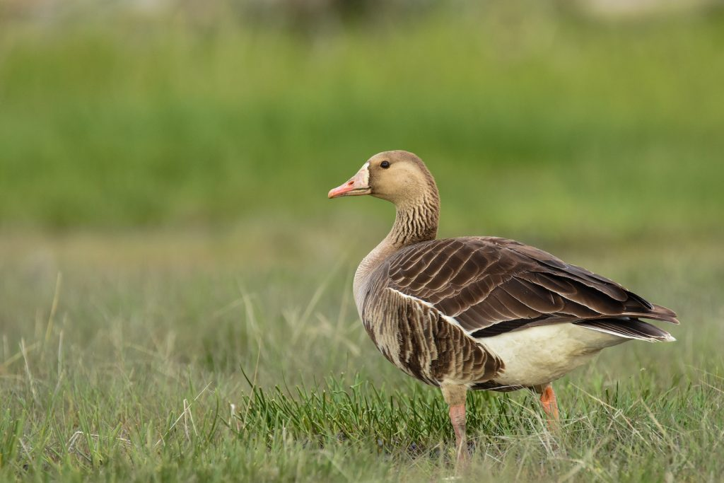 Greater white-fronted goose standing in a green marsh
