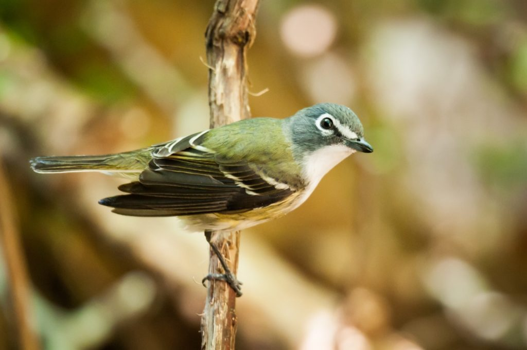Green-backed blue-headed Vireo Solitarius on a branch
