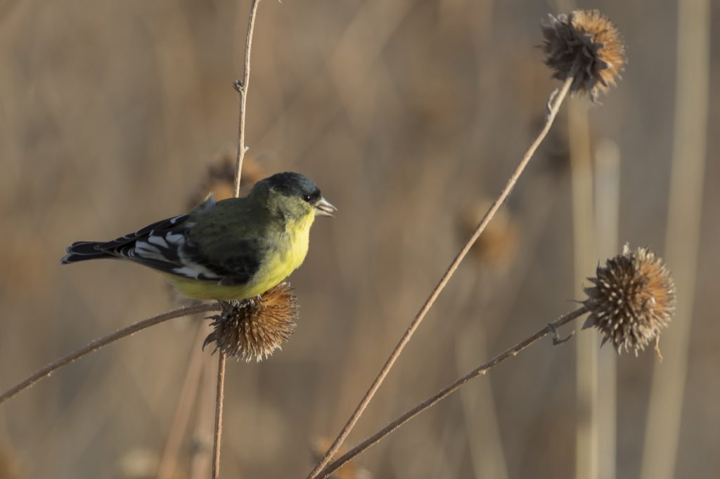 Green-backed or lesser goldfinch photographed in New Mexico