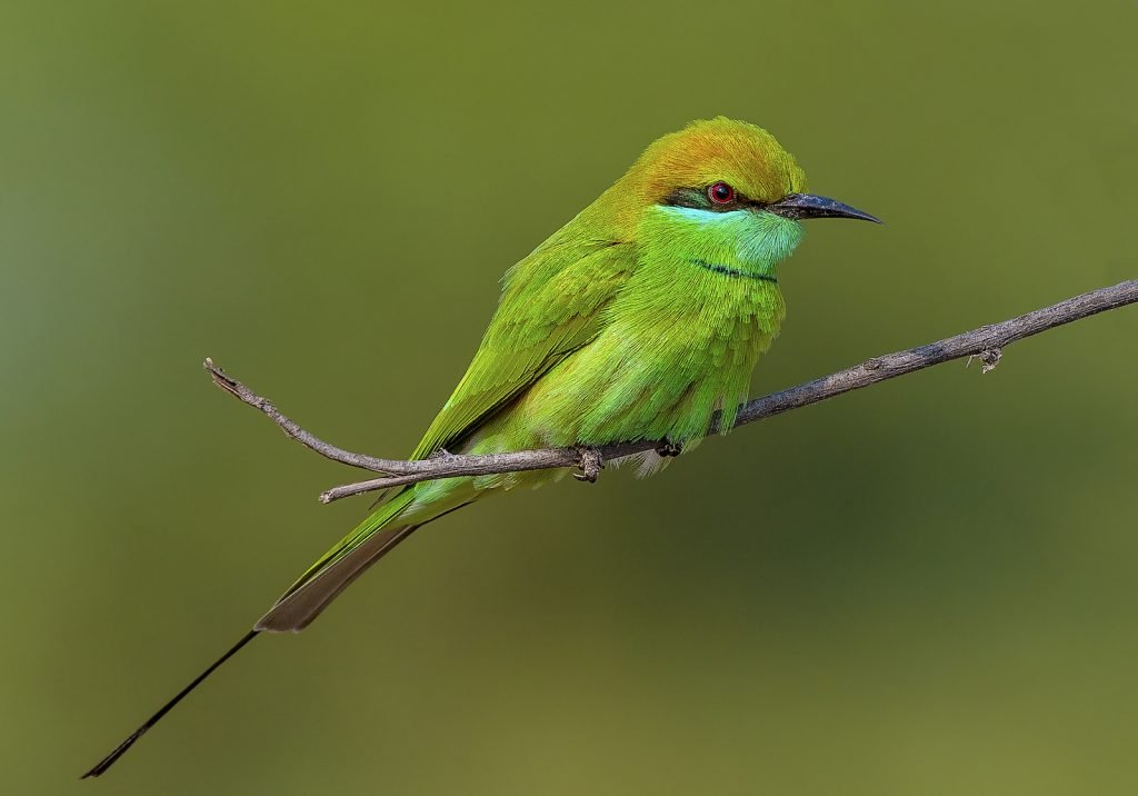 Little green bee-eater sitting og a small twig in a tree