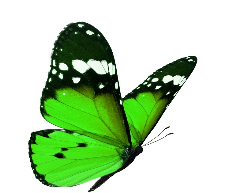 Side view of green butterfly isolated on white background