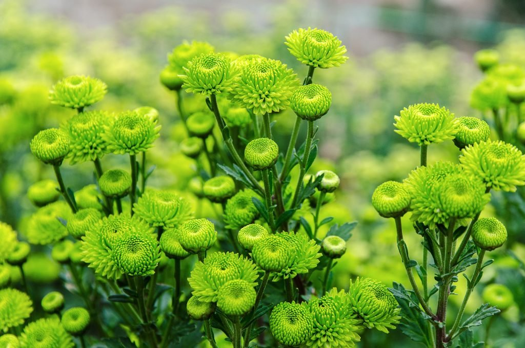 Green chrysanthemums in different stages of bloom