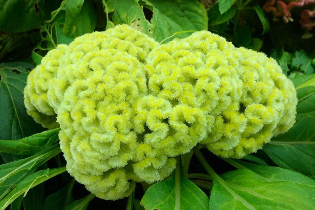 Green cockscomb flower
