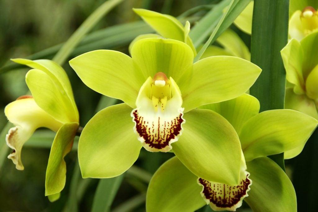 Blooming Green Cymbidium Orchid Flowers