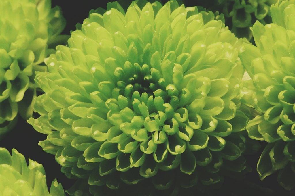 Closeup of green dahlia flowers