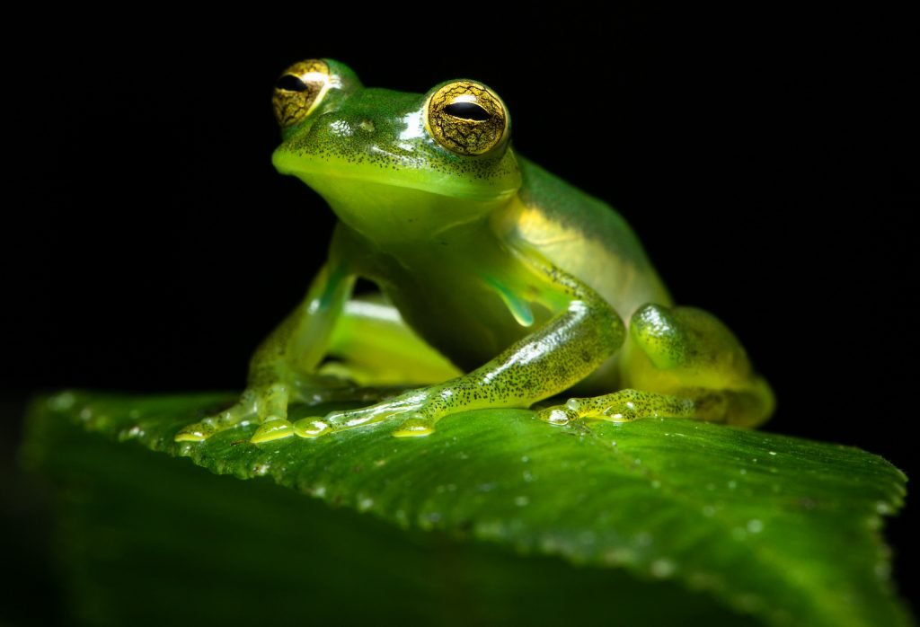 Close up of an emerald glass frog or Nicaragua Giant Glass Frog sitting on a green leaf