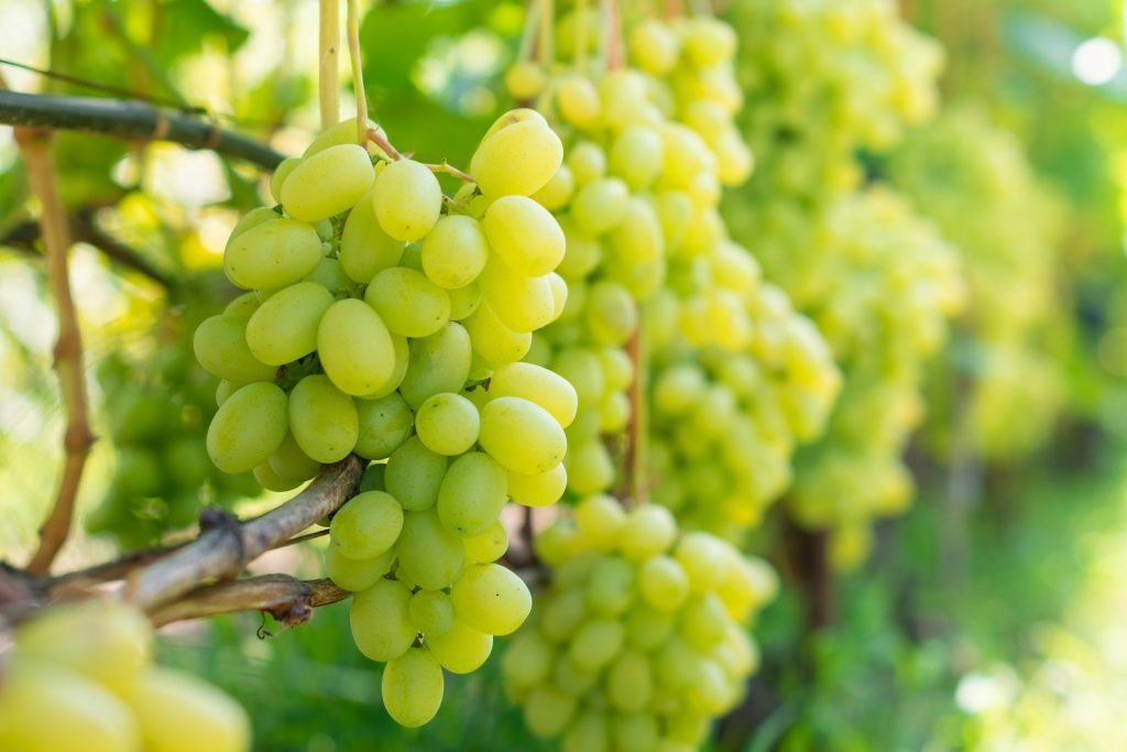 Green grapes on hanging on the grape wine