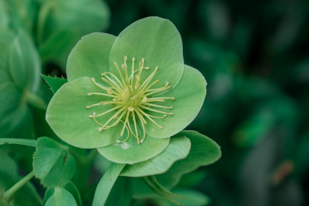 Closeup of single green Hellebores in bloom