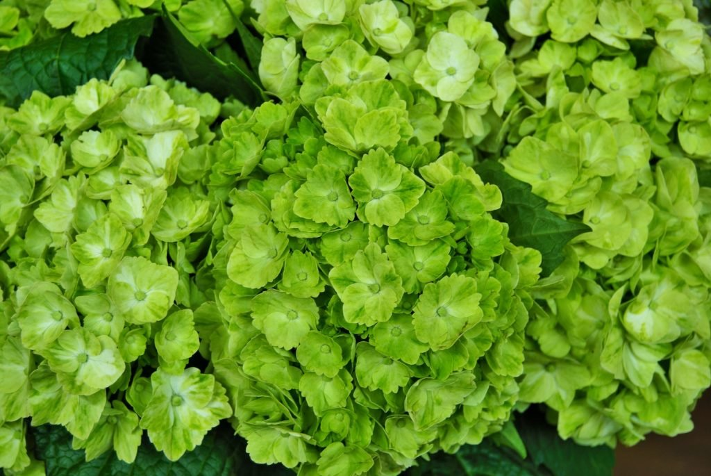 closeup of green hydrangea flower