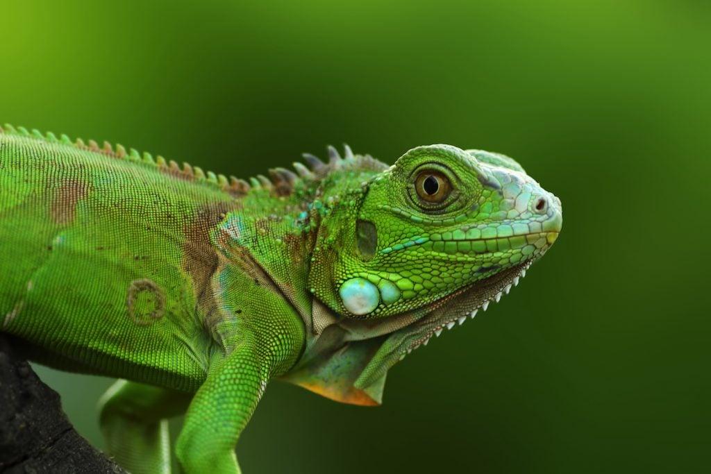 Closeup of colorful green Iguana