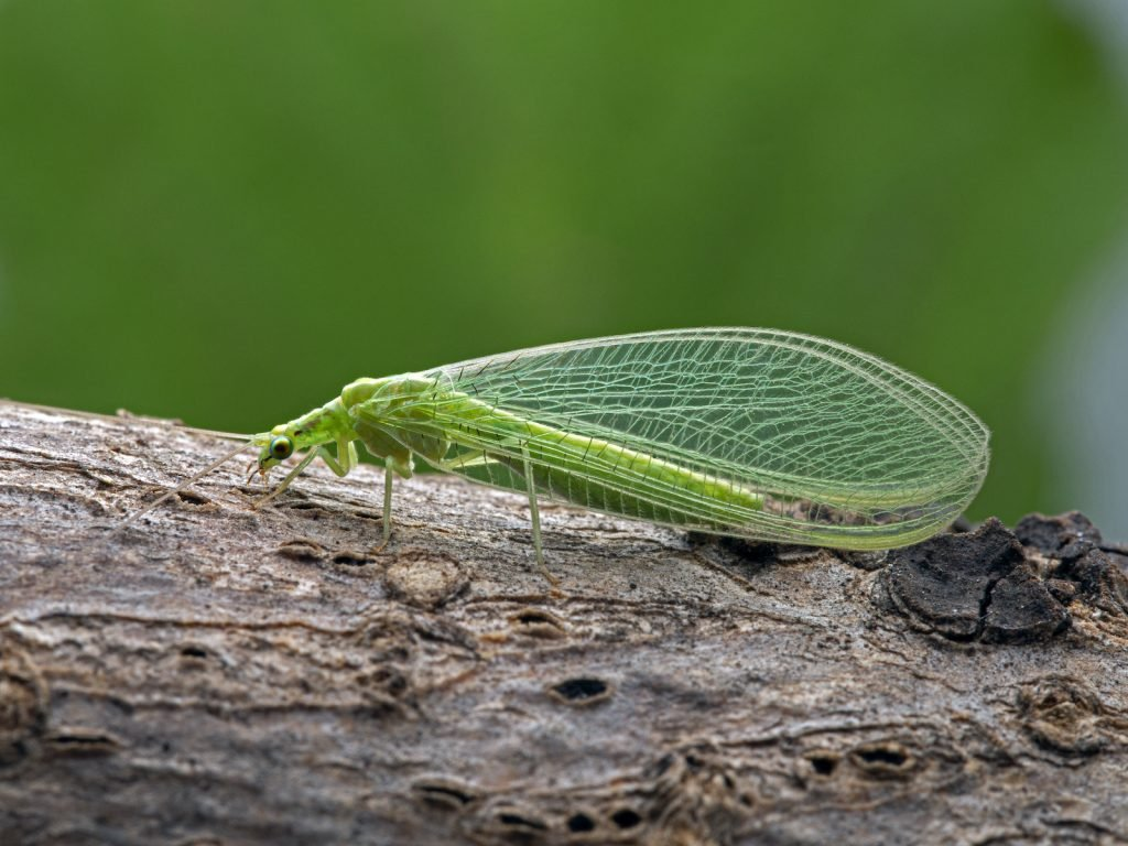 Side view of a green lacewing on a branch, Family Chrysopidae