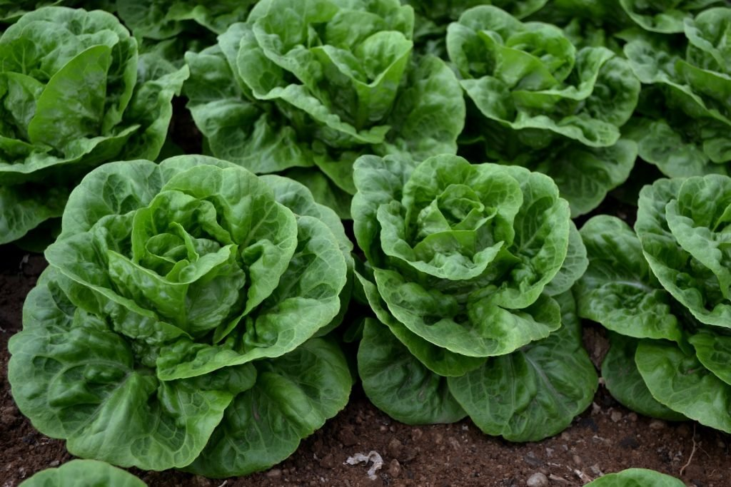 Big fresh green lettuce in the garden waiting to get harvested