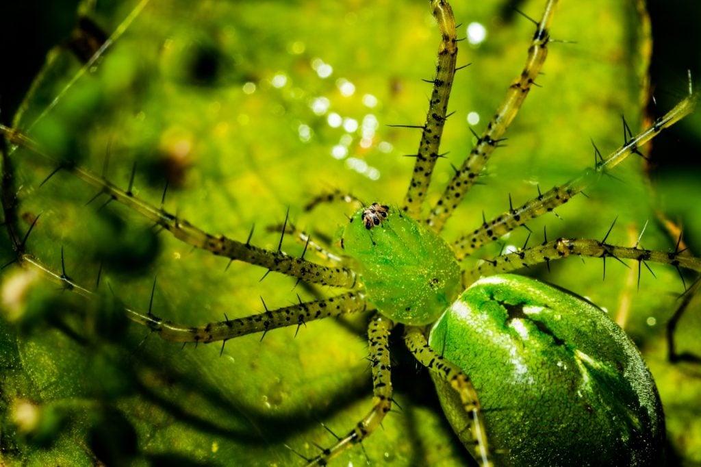 Green lynx spider closeup