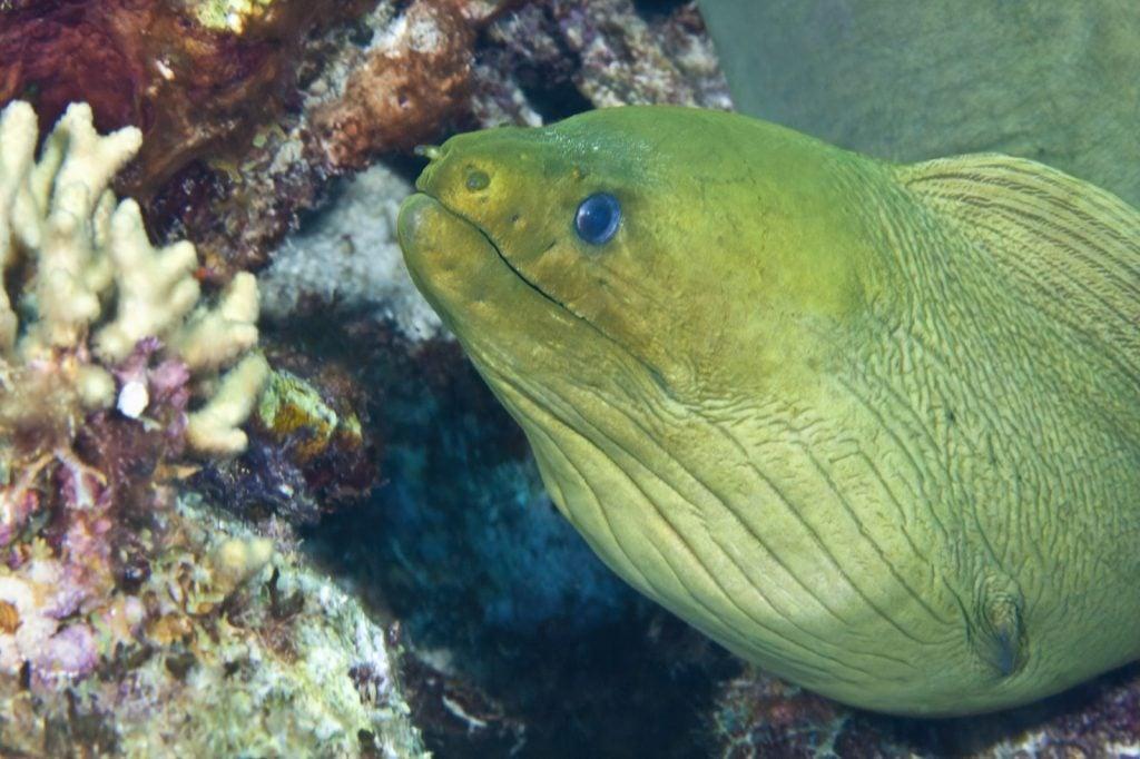 Green moray eel also called Gymnothorax Funebris underwater near Caribbean reefs