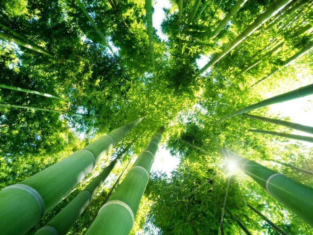 Low angle view of green natural bamboo forest in China