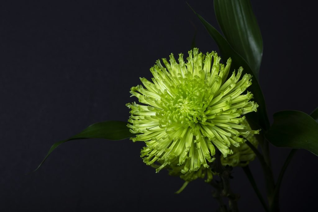 Single green spider mums flower in bloom on a black background