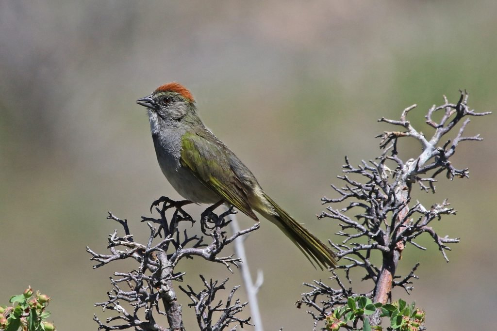Green-tailed towhee aka Pipilo Chlorurus perched in a tree