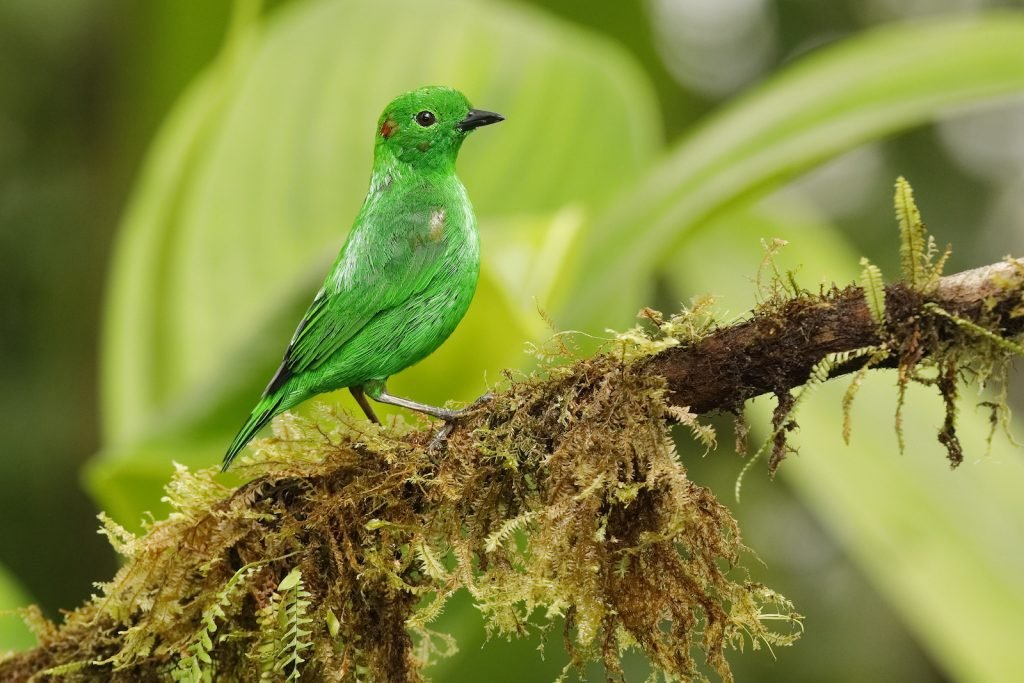 Glistening Green Tanager perched on an branch covered in epiphytes