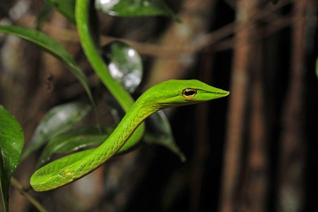 Closeup of a green vine snake
