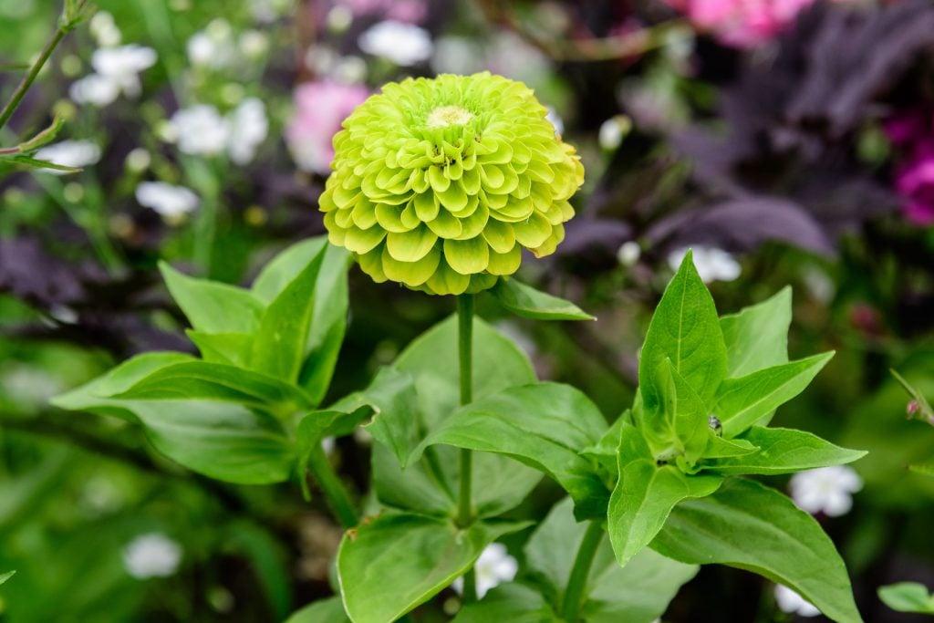 closeup of green zinnia flower in a garden