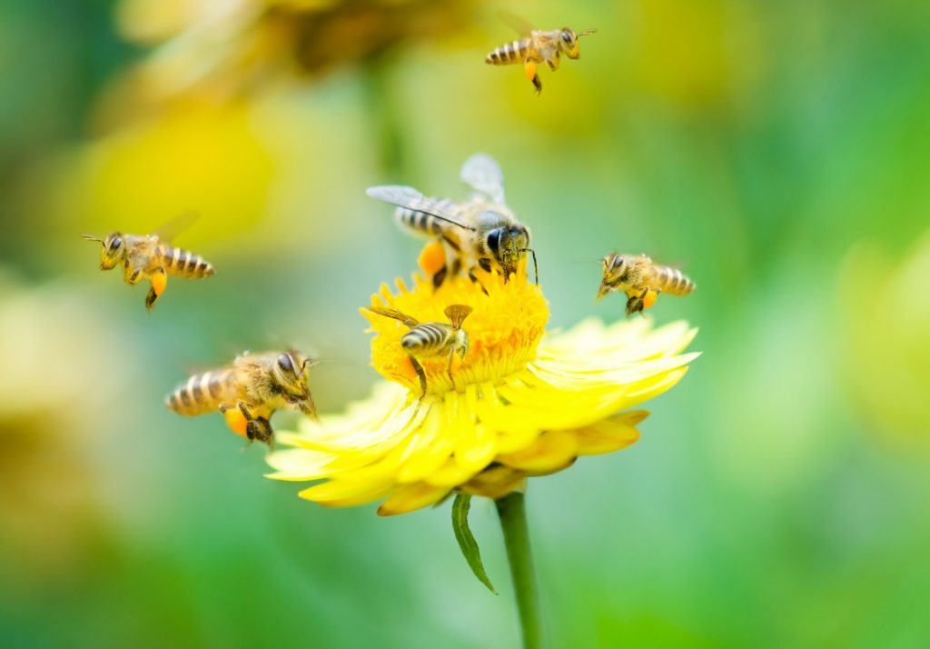 Close up group of bees on a yellow daisy flower