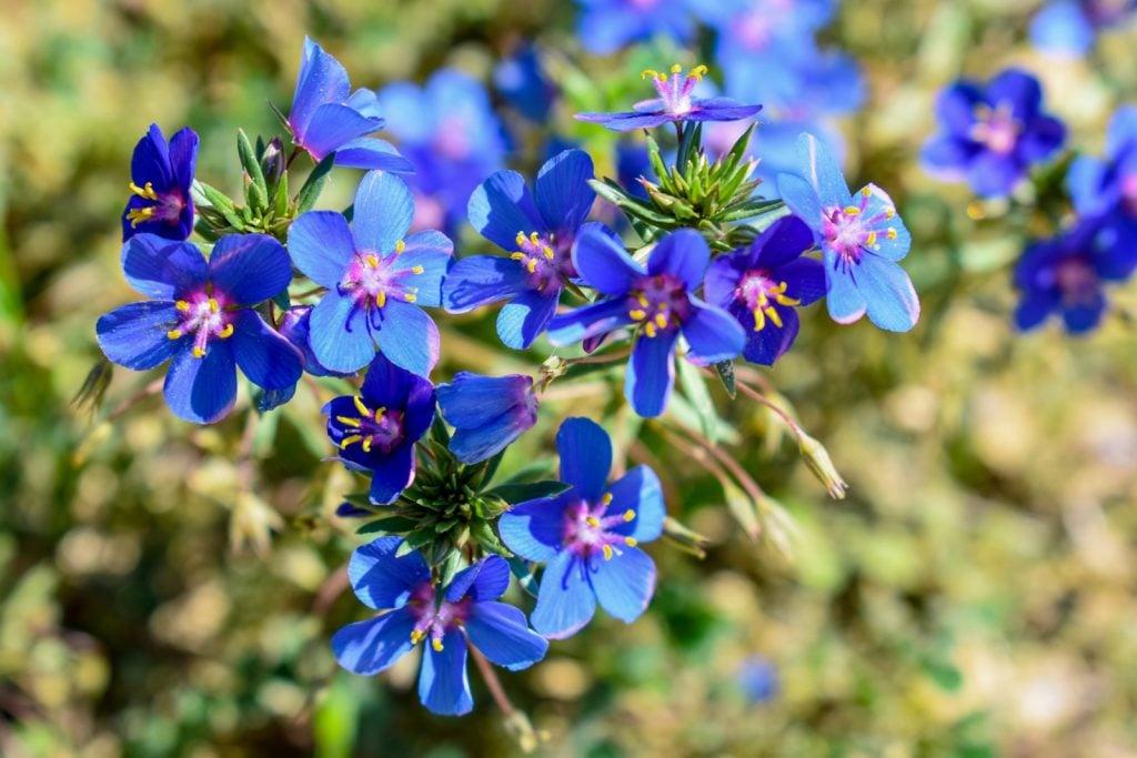 Group of blue Scarlet Pimpernel flowers