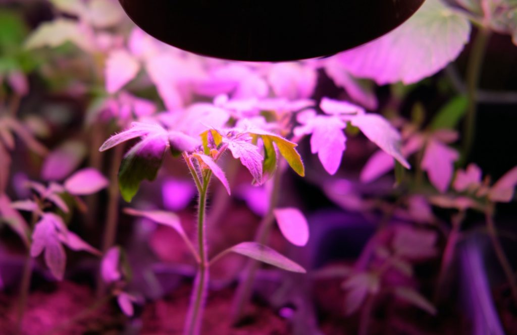 Growing plants at home using violet colored light
