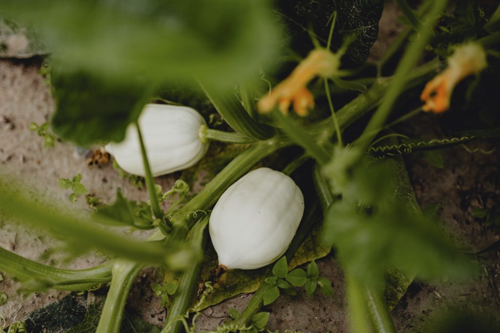Growing white pumpkins on the ground at a farm
