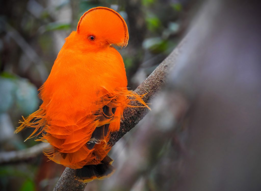 Closeup of a bright orange guianan Cock-of-the-Rock sitting in a tree