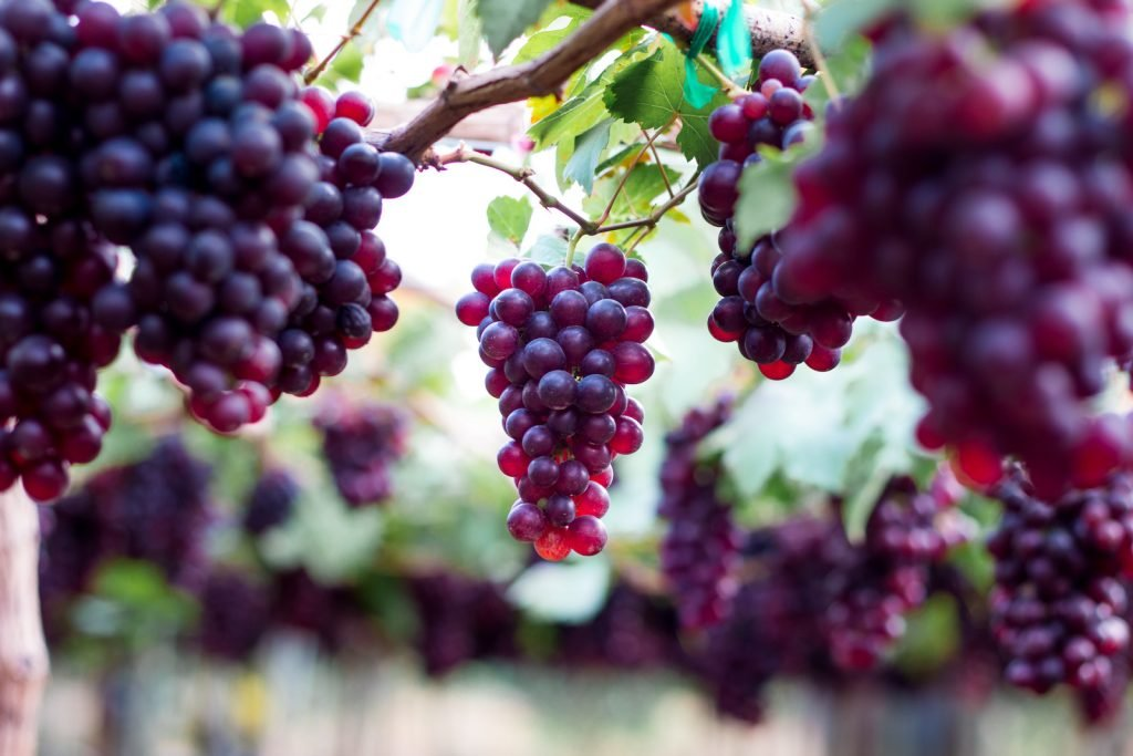 Bunch of ripe fresh purple grapes hanging from the vine