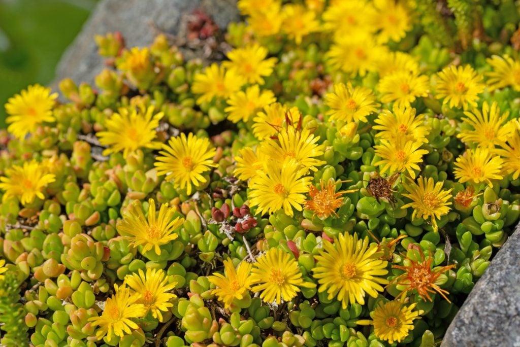 Hardy yellow ice plant or Delosperma Nubigenum