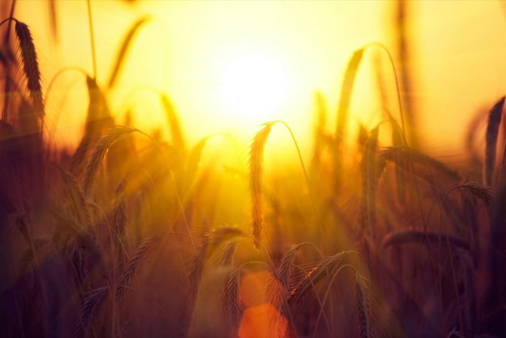 Harvest concept with the warm sun above a field of dry, golden wheat