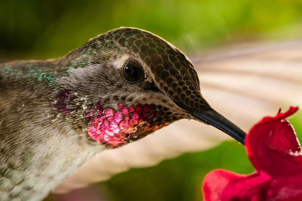 Head shot of hummingbird with reflective red colored chin