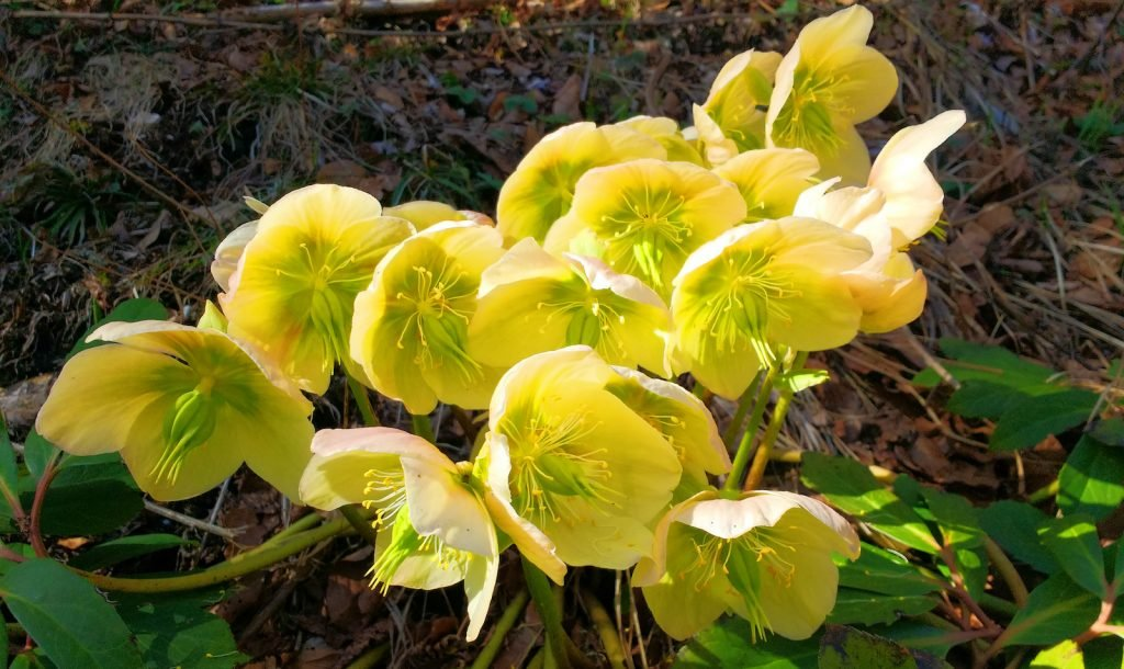 Spring yellow with a touch of green hellebore flowers in bloom
