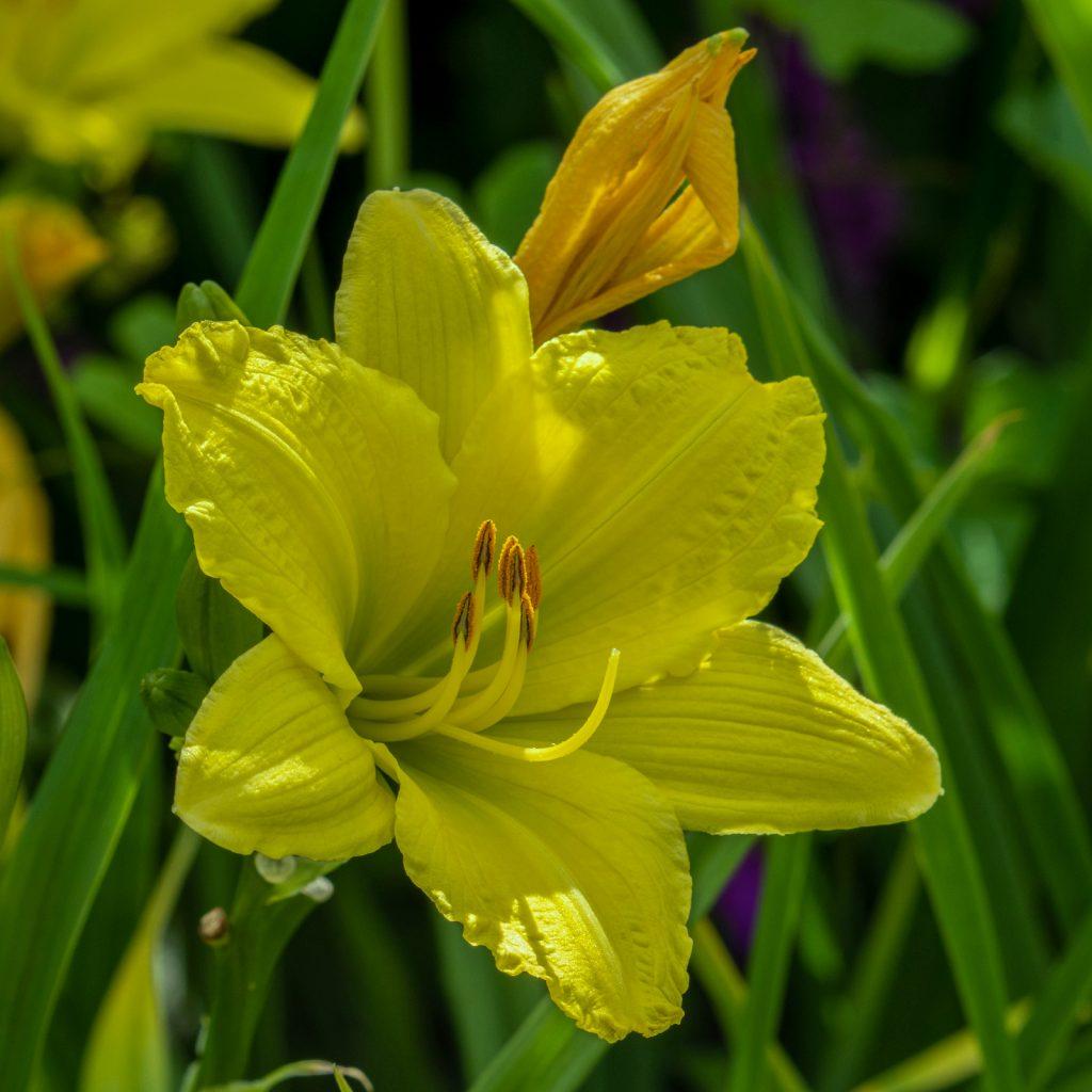 closeup of green flutter daylily hemerocallis