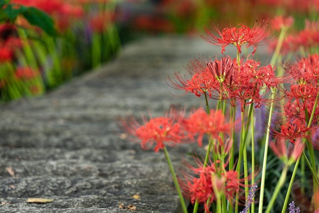 Higanbana or Lycoris Radiata in the autumn in Japan