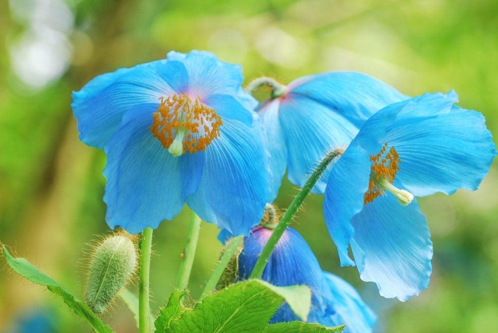 Himalayan Blue Poppies aka Meconopsis Betonicifolia