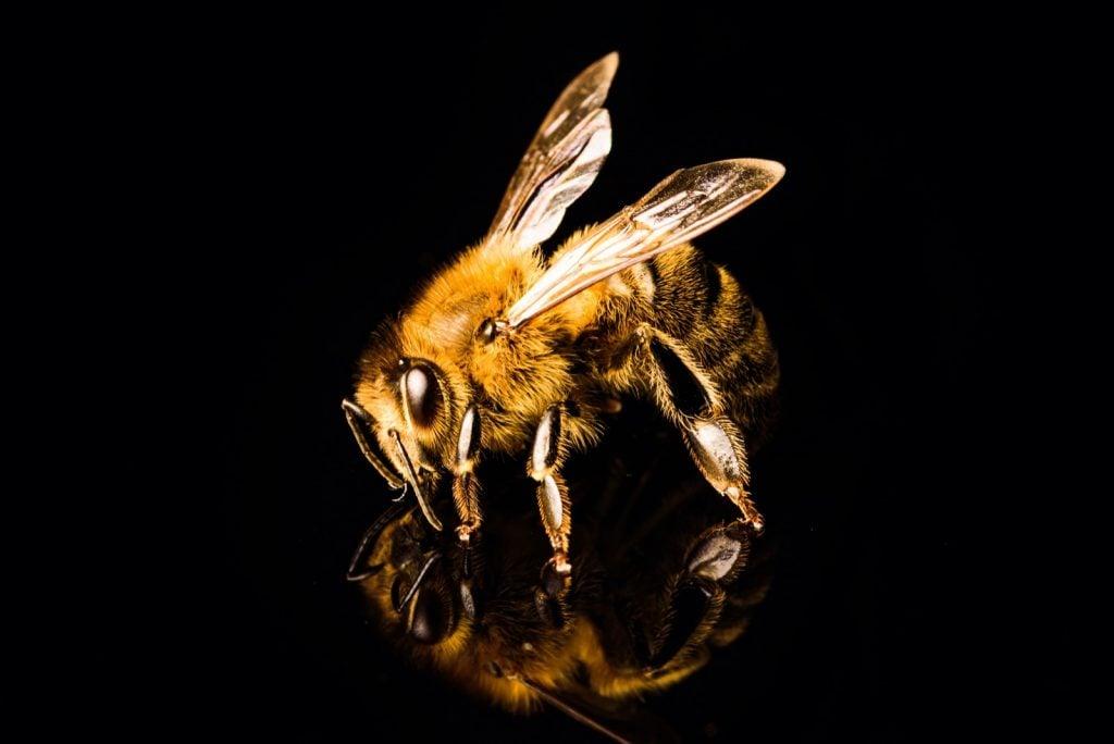 Honey bee macro, isolated on black background