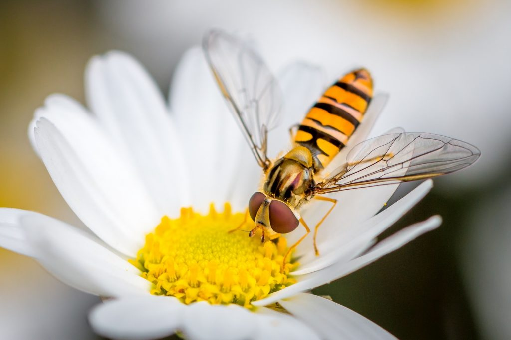 Hoverfly eating from a daisy flower