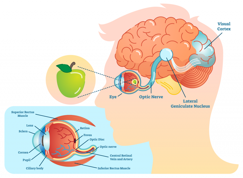 Illustration of how human eyes see with definition of the eyes anatomy